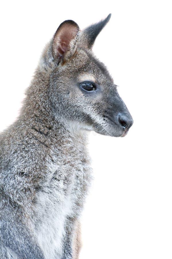 Australian Animal - Young Kangaroo Portrait Royalty Free Stock Photo