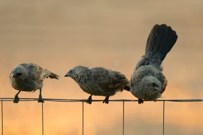Australian Apostlebirds. Australian native Apostlebirds / Struthidea cinerea on a fence stock image