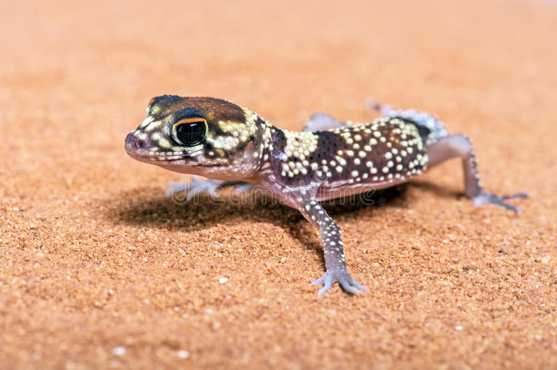 Australian Barking Gecko (Underwoodisaurus Milii). Australian Barking Gecko on red sand stock photography
