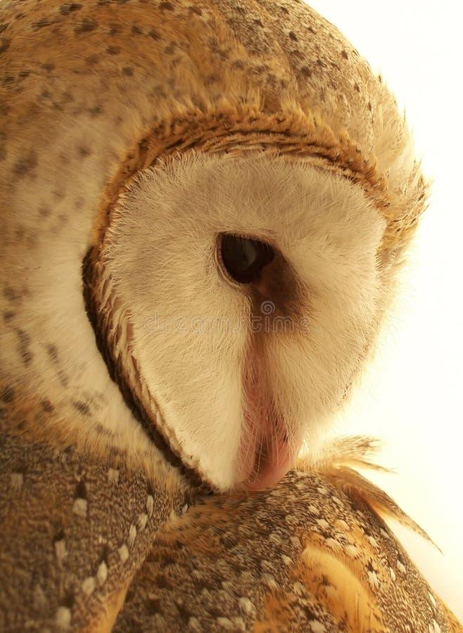 Australian Barn Owl - Portrait