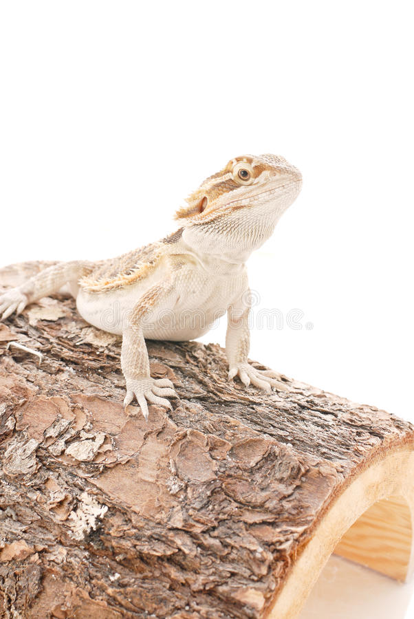 Download Australian Bearded Dragon stock photo. Image of little - 25661904