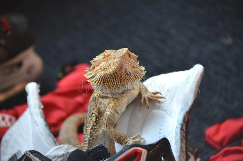 Australian Bearded dragon pet lizard stock images