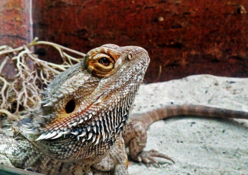 Australian bearded dragon royalty free stock images