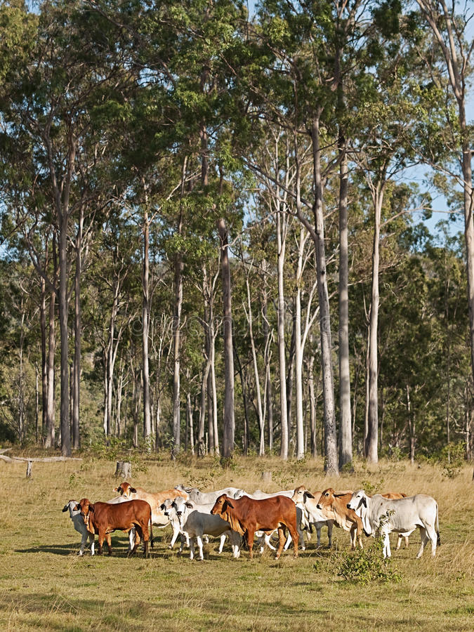 Australian beef cattle herd. Of cows on ranch with tall eucalyptus gum tree forest background royalty free stock images