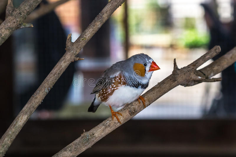 Australian bird Zebra Finch. At a tree branch royalty free stock photo