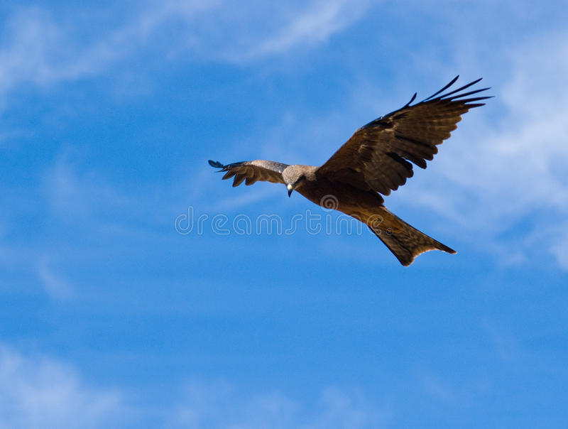 Download Australian Black Kite (Milvus Migrans) Stock Photos - Image: 11279303