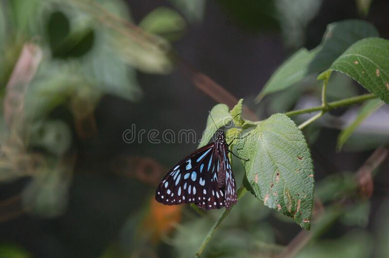 Australian Blue Tiger Nymph Butterfly. Resting on a Lantana leaf royalty free stock photography