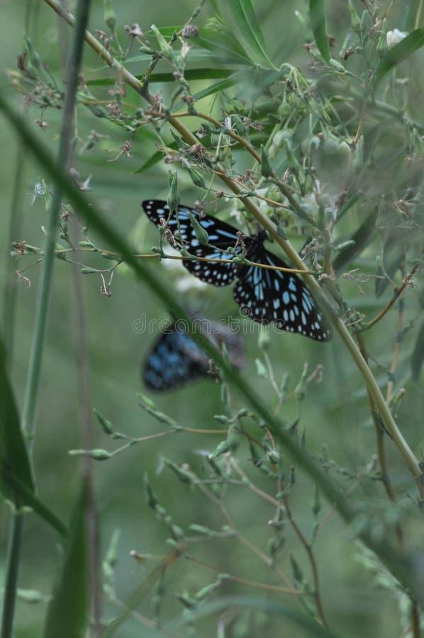 Australian Blue Tiger Nymph Butterfly. Resting on a Lantana leaf stock image