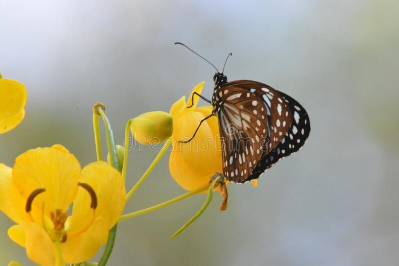 Australian Blue Tiger Nymph Butterfly. Resting on a Yellow Flower stock image