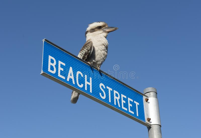 Australian blue winged kookaburra, stock image
