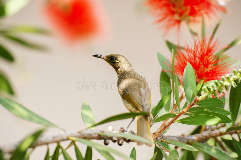 Australian Brown Honeyeater Bird royalty free stock images