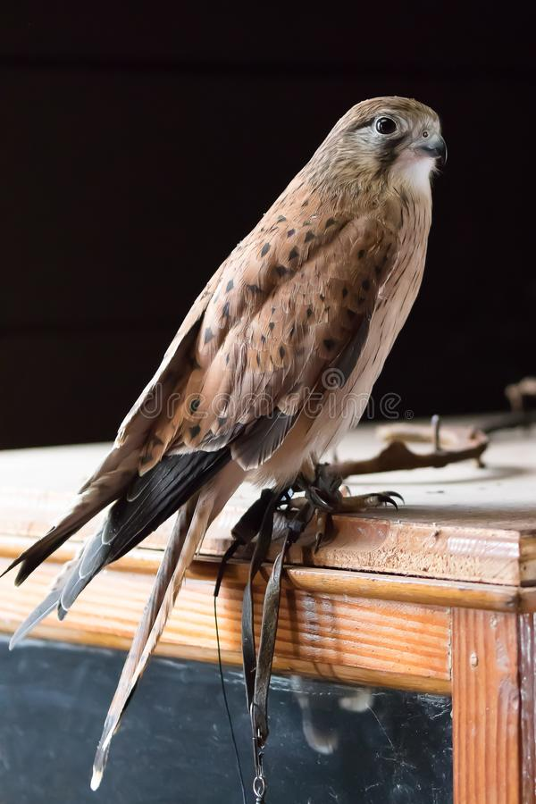 Australian Brown Kestrel sitting on a table royalty free stock images