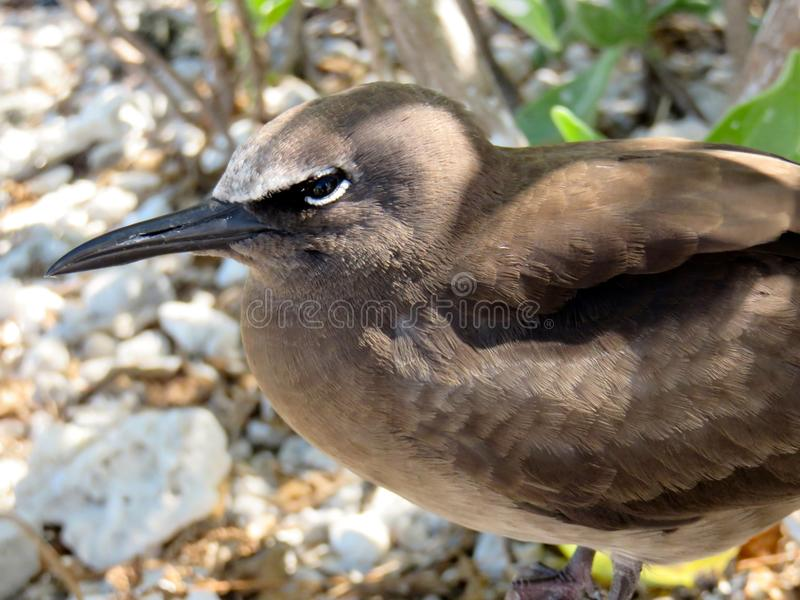 Australian Brown Noddy royalty free stock photos