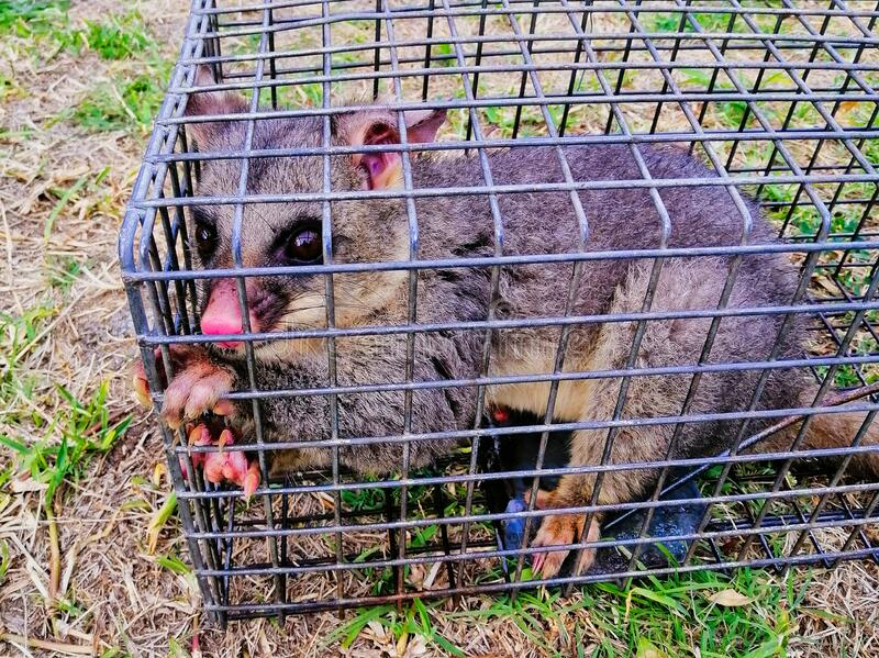 Possum Cage Photos - Free & Royalty-Free Stock Photos from Dreamstime