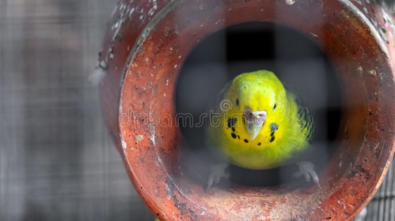 Australian Budgerigar. Budgerigar is a long-tailed, seed-eating parrot usually nicknamed the budgie and are found in Australia