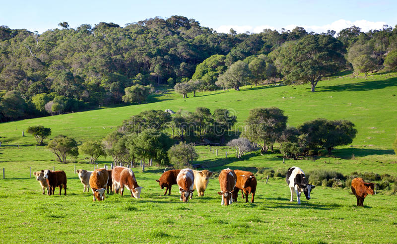 Australian Cattle. A mixed herd of cattle in the Caves Road area of Margaret River in Western Australia stock photography