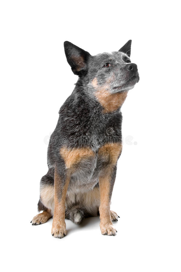 Download Australian cattle dog stock image. Image of companion - 15741857