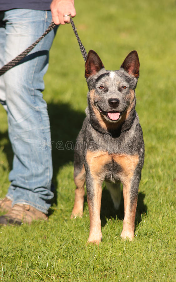 Australian Cattle Dog. Tricolor dog stock image