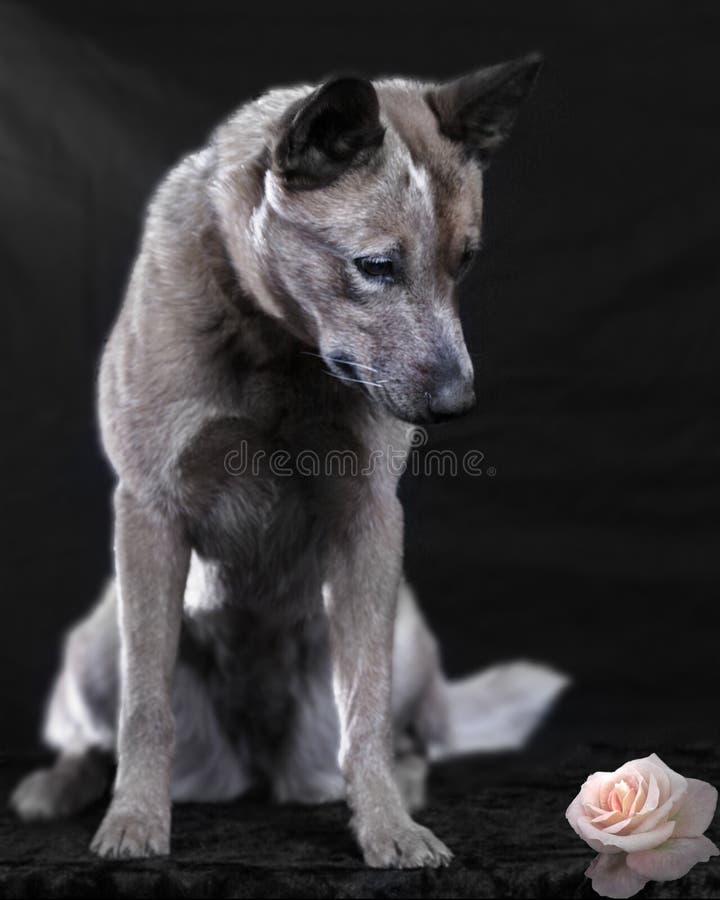 Australian cattle dog stock image