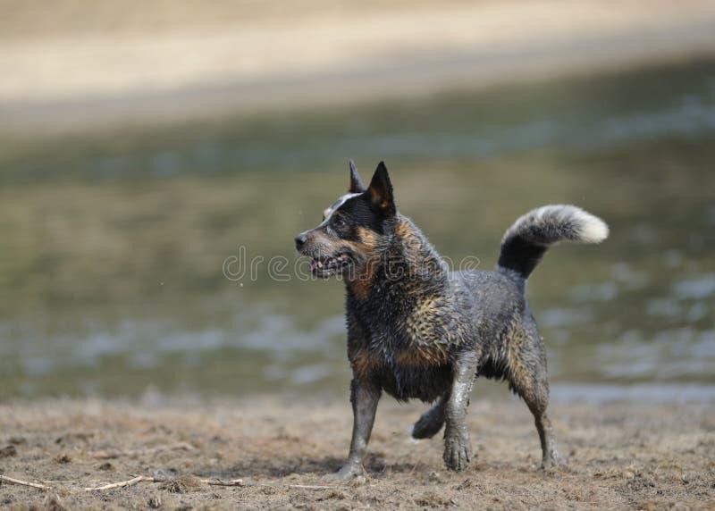 AUSTRALIAN CATTLE DOG royalty free stock photography