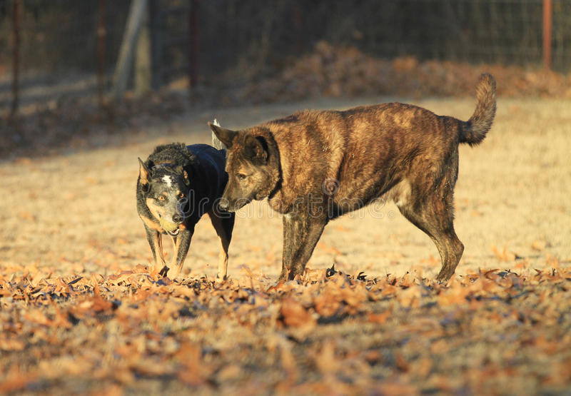 Australian Cattle Dog with ball and Dutch Shepherd dog playing in the fall golden light royalty free stock image