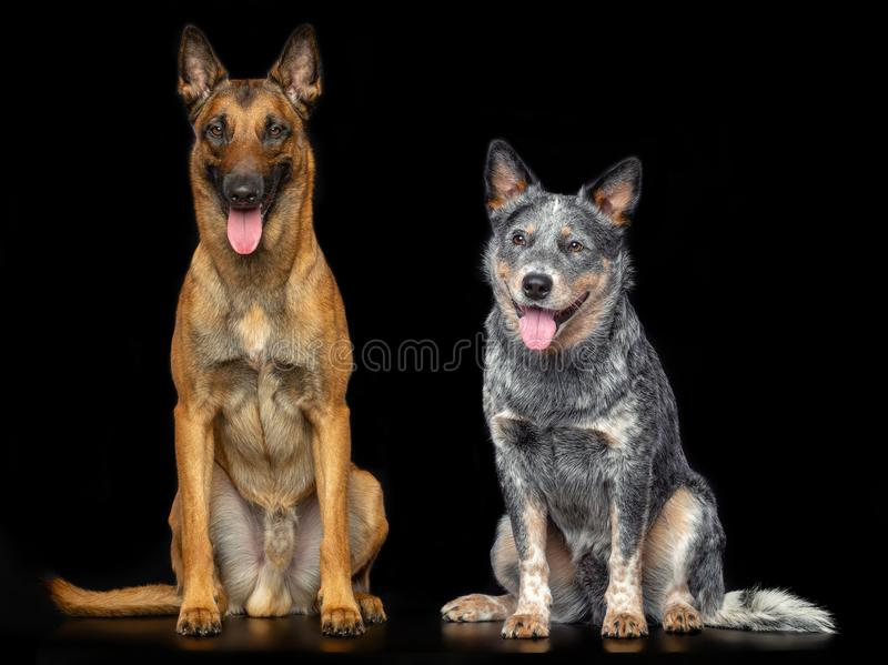 Australian Cattle Dog, Blue Heeler Dog and Belgian Shepherd Dog, malinois Isolated on Black Background stock photography