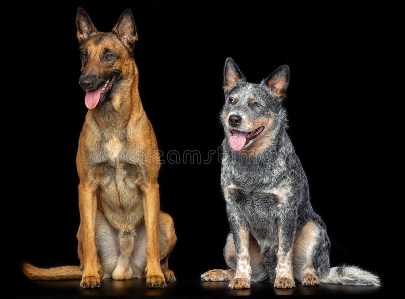 Australian Cattle Dog, Blue Heeler Dog and Belgian Shepherd Dog, malinois Isolated on Black Background. In studio royalty free stock photos