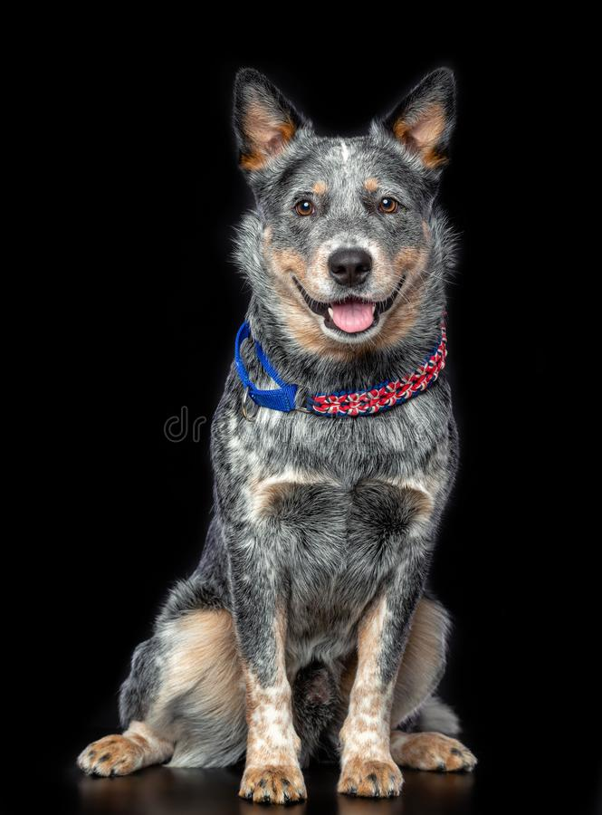 Australian Cattle Dog, Blue Heeler Dog Isolated on Black Background. In studio royalty free stock images