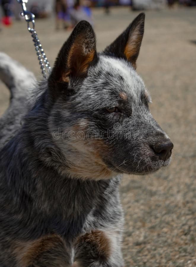 An Australian Cattle Dog at a dog show royalty free stock photography