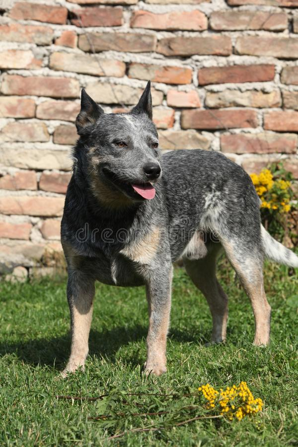 Australian Cattle Dog in front of the wall royalty free stock photography
