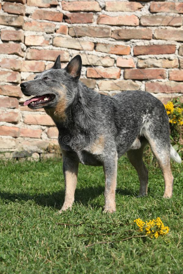 Australian Cattle Dog in front of the wall stock photos