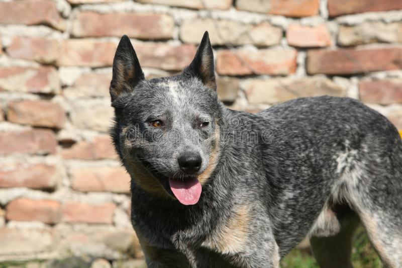 Australian Cattle Dog in front of the wall stock photography