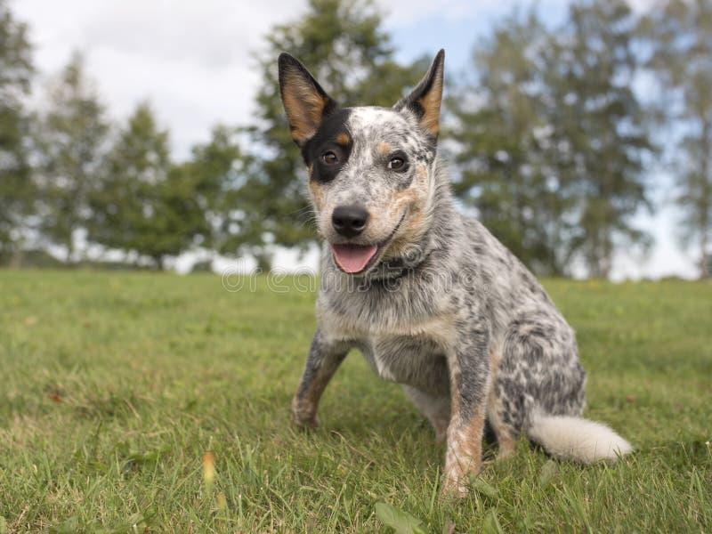 Australian cattle dog. On the grass stock image