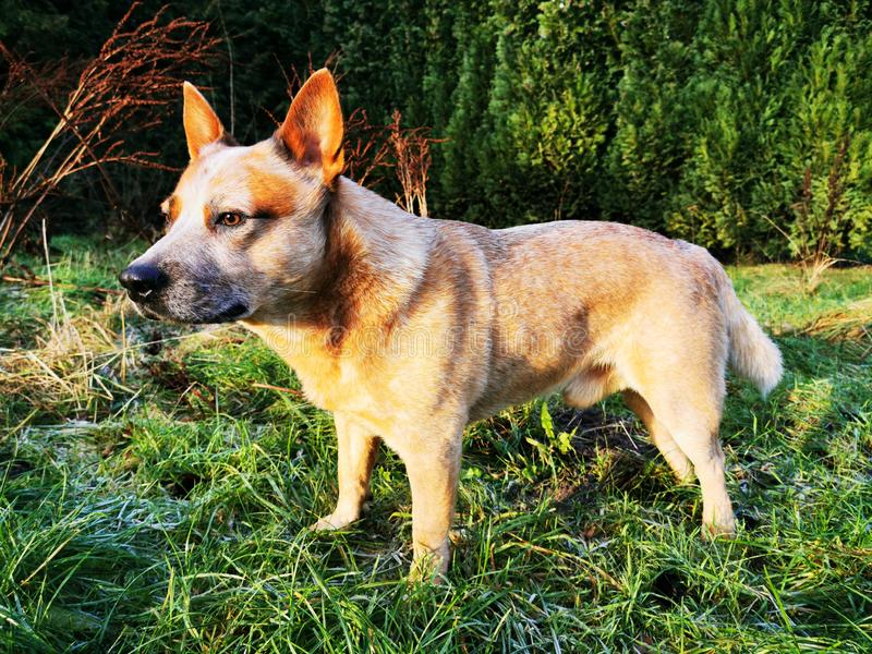 Australian Cattle Dog on a green meadow in sunshine. A red heeler is looking into the wild royalty free stock photos