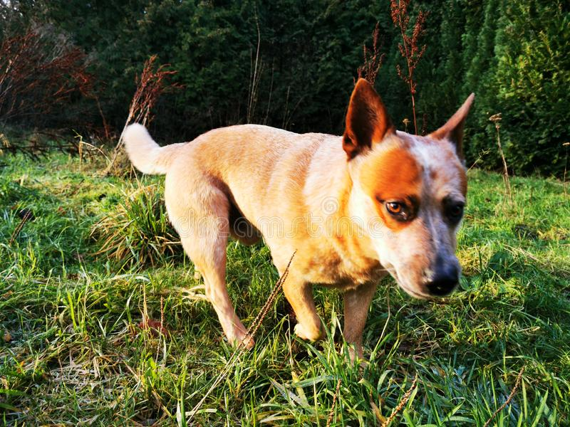 Australian Cattle Dog on a green meadow in sunshine. A red heeler is looking into the wild stock photo