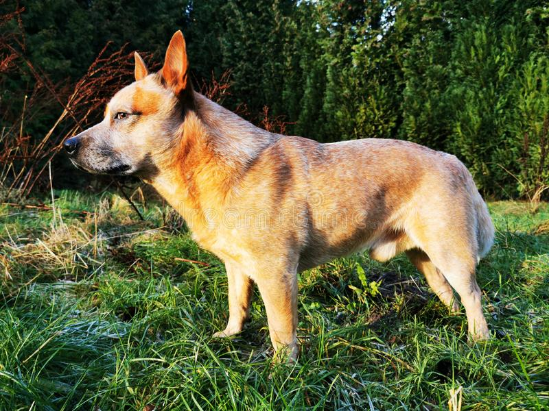 Australian Cattle Dog on a green meadow in sunshine. A red heeler is looking into the wild royalty free stock photography