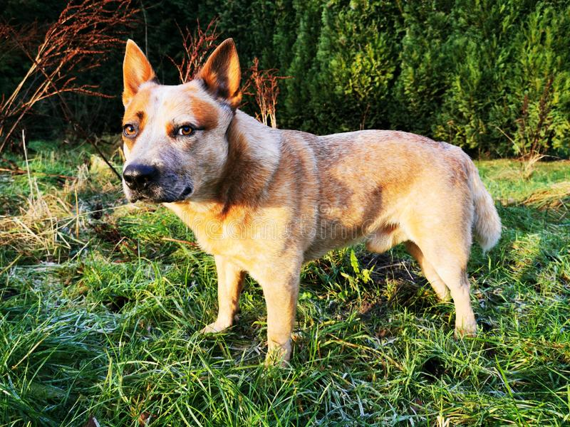 Australian Cattle Dog on a green meadow in sunshine. A red heeler is looking into the wild stock image