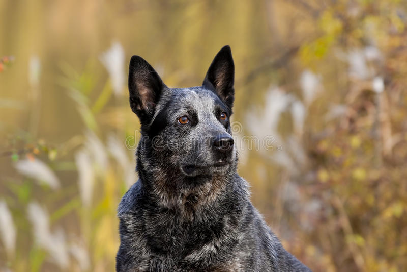 Australian Cattle Dog Male Portrait royalty free stock images