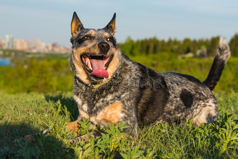 Blue Heeler Dog playing at the park stock photography