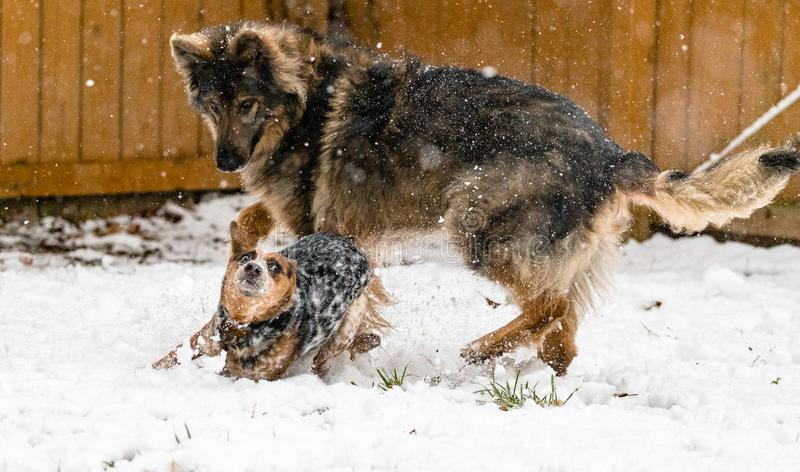 An Australian Cattle Dog plays with a German Shepherd in the snow royalty free stock images