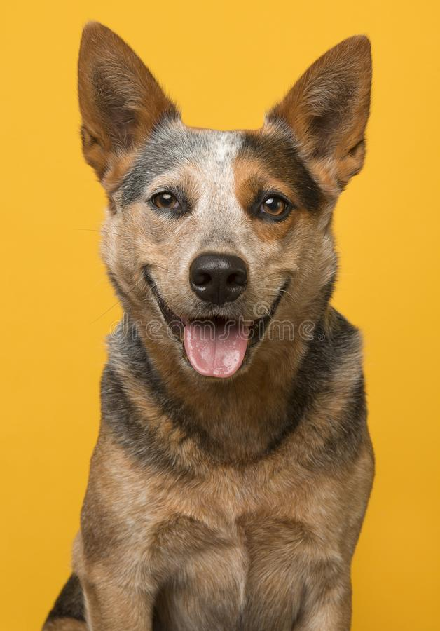 Australian cattle dog portrait smiling with open mouth look royalty free stock photo