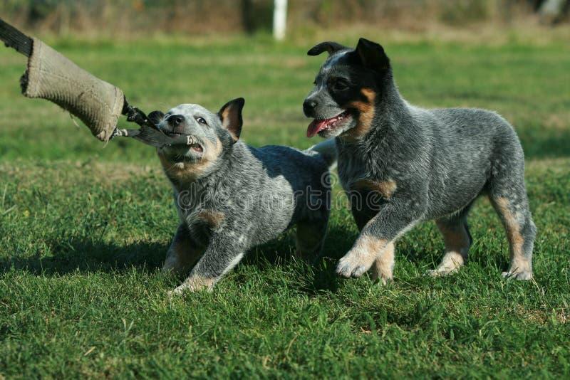 Australian Cattle Dog puppies playing stock image