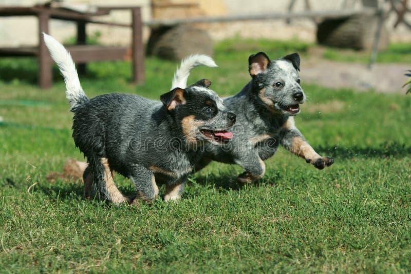 Australian Cattle Dog puppies running stock photos