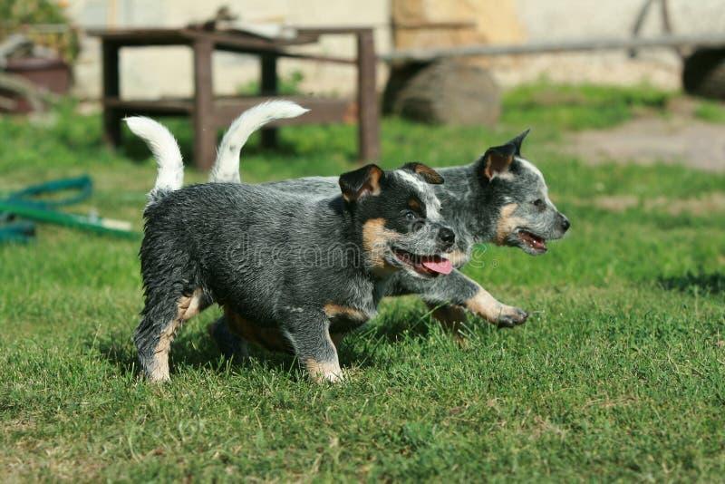 Australian Cattle Dog puppies running stock photography