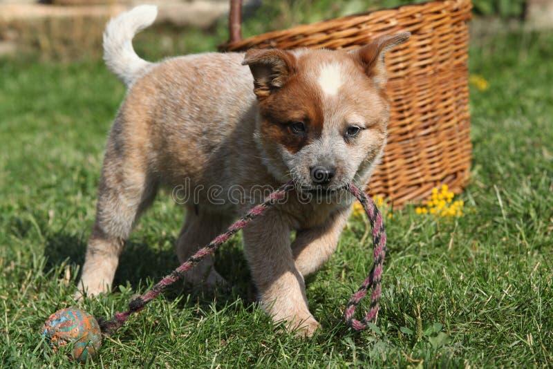 Australian Cattle Dog puppy playing stock photo
