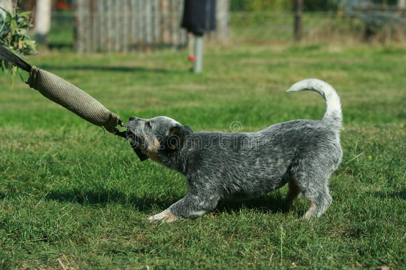 Australian Cattle Dog puppy playing royalty free stock images