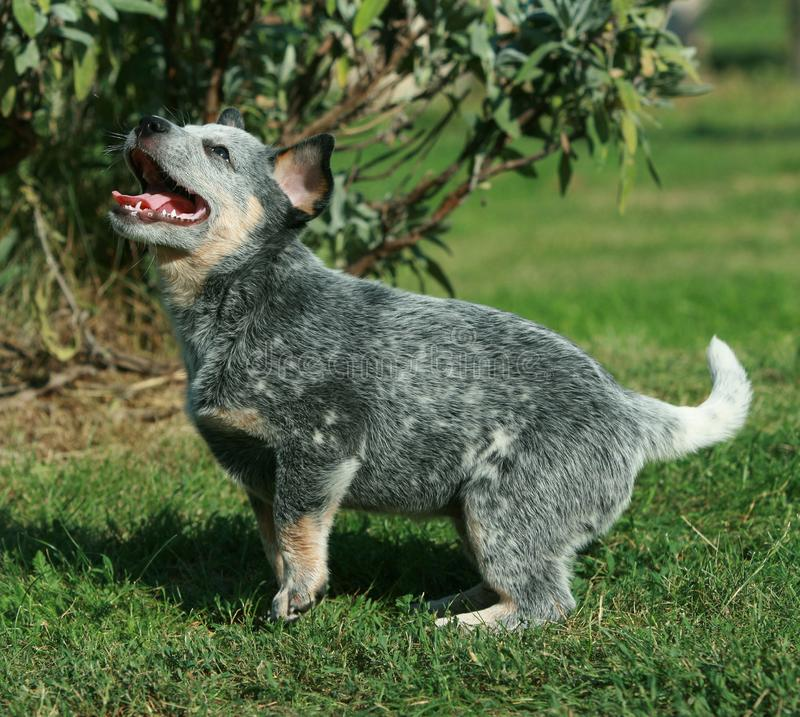 Australian Cattle Dog puppy smiling royalty free stock image