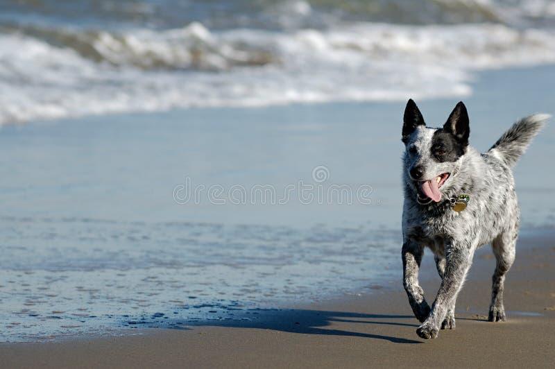 Australian cattle dog running royalty free stock photo