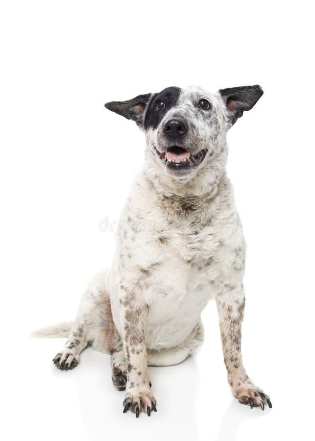 Australian Cattle Dog. A studio shot of an Australian Cattle Dog stock images