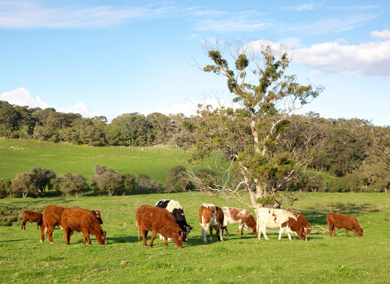 Australian Cattle. A herd of mixed cattle in the Caves Road area of Margaret River in Western Australia stock photos